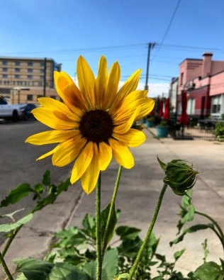 denver sunflower 2