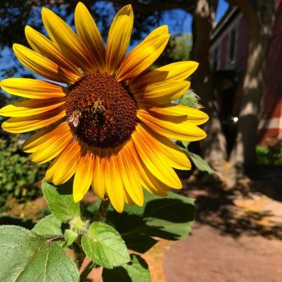 denver sunflower
